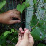 ネットに絡んだゴーヤやアサガオのツルを簡単に取り外す方法(緑のカーテン)